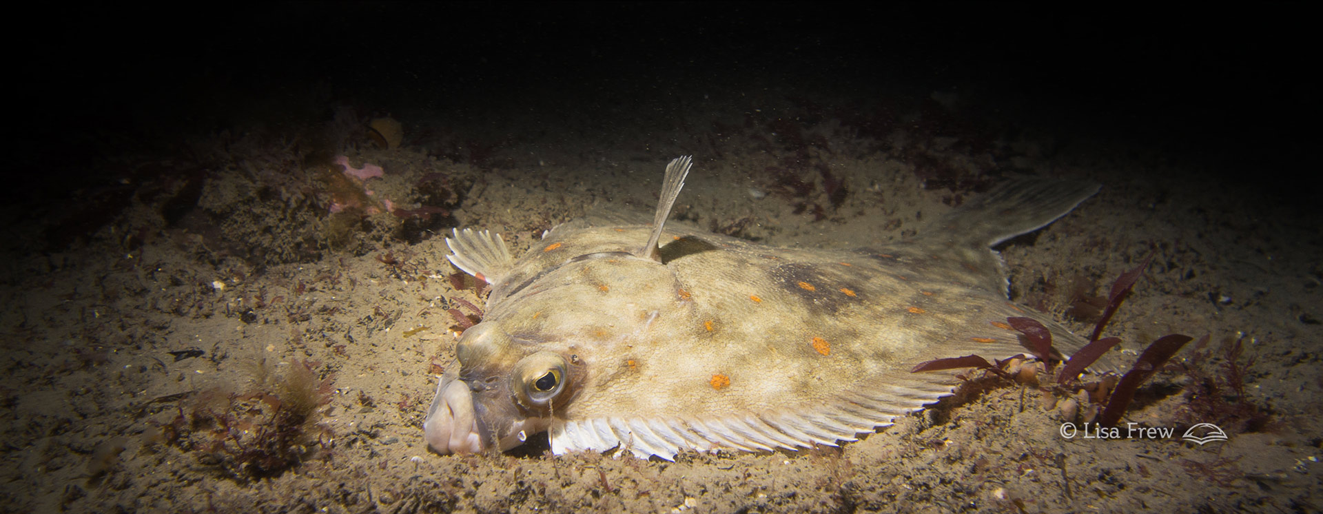 Image of flat fish seen on PADI night diver course